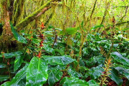 Wilder Ingwer im Regenwald